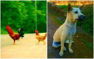 Ayam dan Anjing